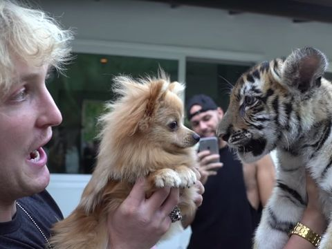 L.A. man charged after tiger cub appears in Logan Paul YouTube video