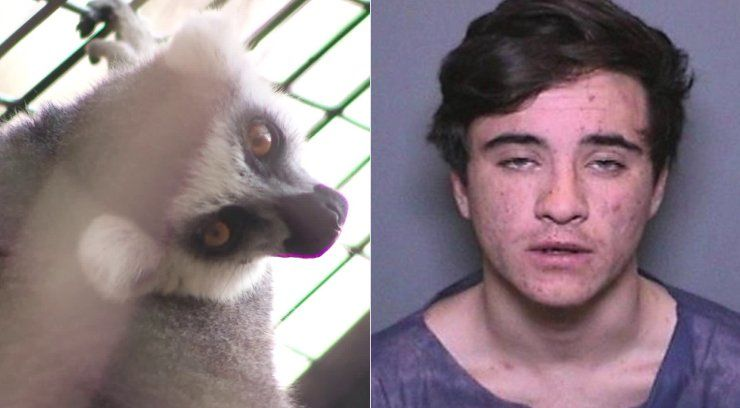 Man admits stealing endangered lemur from zoo to keep as pet: Prosecutors