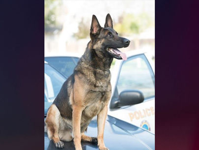 K-9 dies of heat-related illness after being left in handler's car: Police
