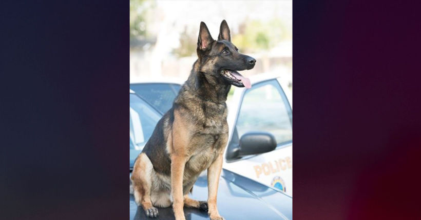 K-9 dies of heat-related illness after being left in handler's patrol car: Police