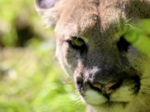 Man charged after fatal shooting of protected mountain lion
