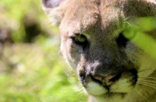 Simi Valley man charged after allegedly fatally shooting mountain lion P-38 in the head