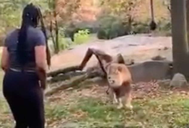 Video shows woman seemingly entering restricted lion area at Bronx Zoo