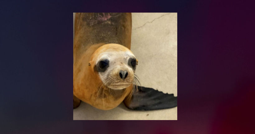 Sea lion euthanized after being found on beach with gunshot wounds