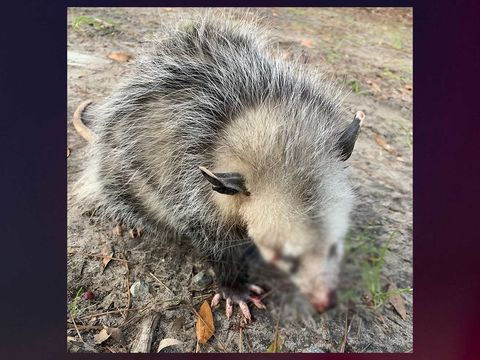 Possum left blind, jaw broken after beaten by Hilton Head golfers: Rehab