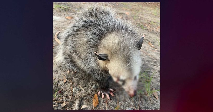 Possum left blind, jaw broken after beaten by Hilton Head golfers: Rehab