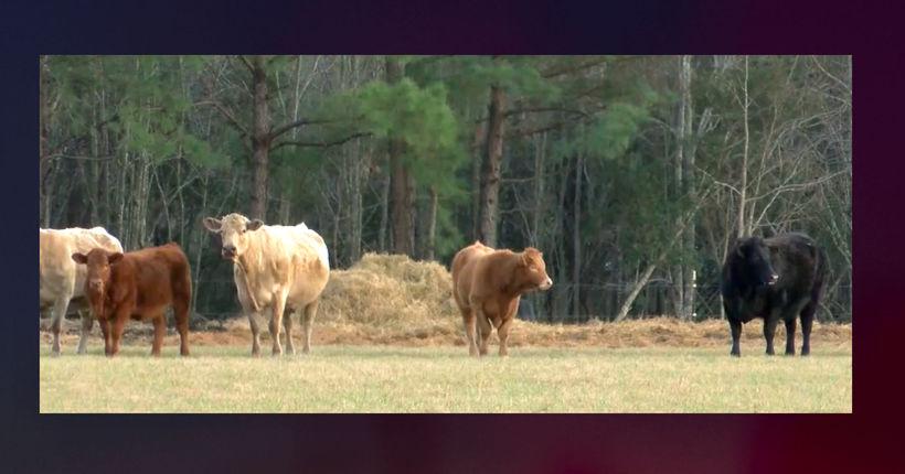 K-9 bites cow, deputy Tases K-9, cow kicks deputy